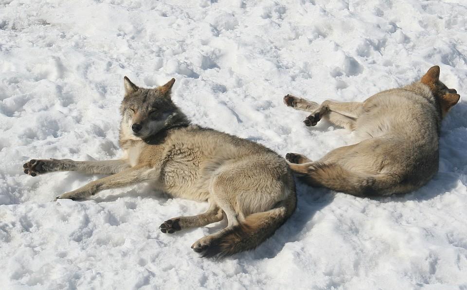 Смотреть видео стая волков напала на человека скрытая камера