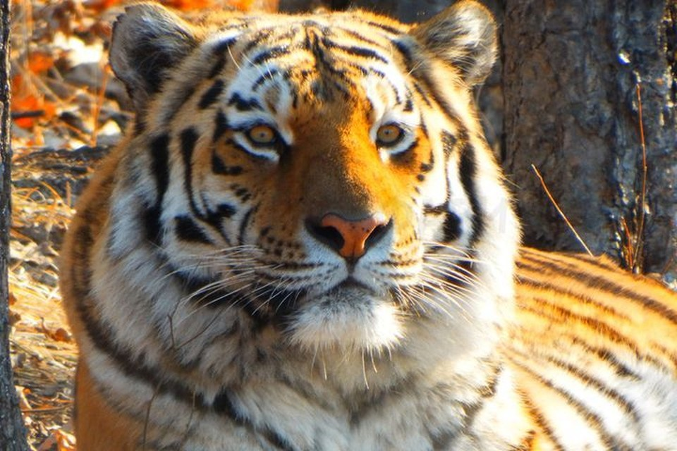 Тигр Амур, по словам директора Приморского сафари-парка, сейчас - в самом расцвете сил. Фото: safaripark25.ru