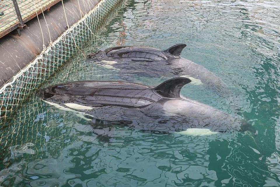 В бухте Средней в Приморье с прошлого года томится сотня мормлеков, пойманных в Охотском море