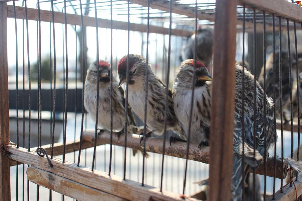Как в Воронеже продавали лесных птиц на Благовещение