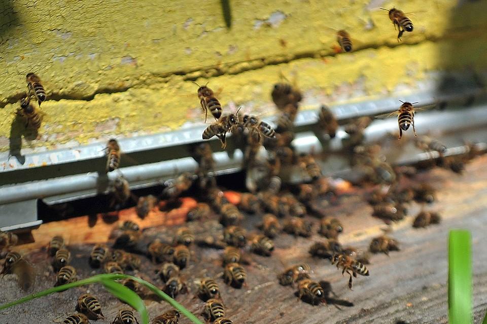 Пчелы у входа в пчелиный улей
