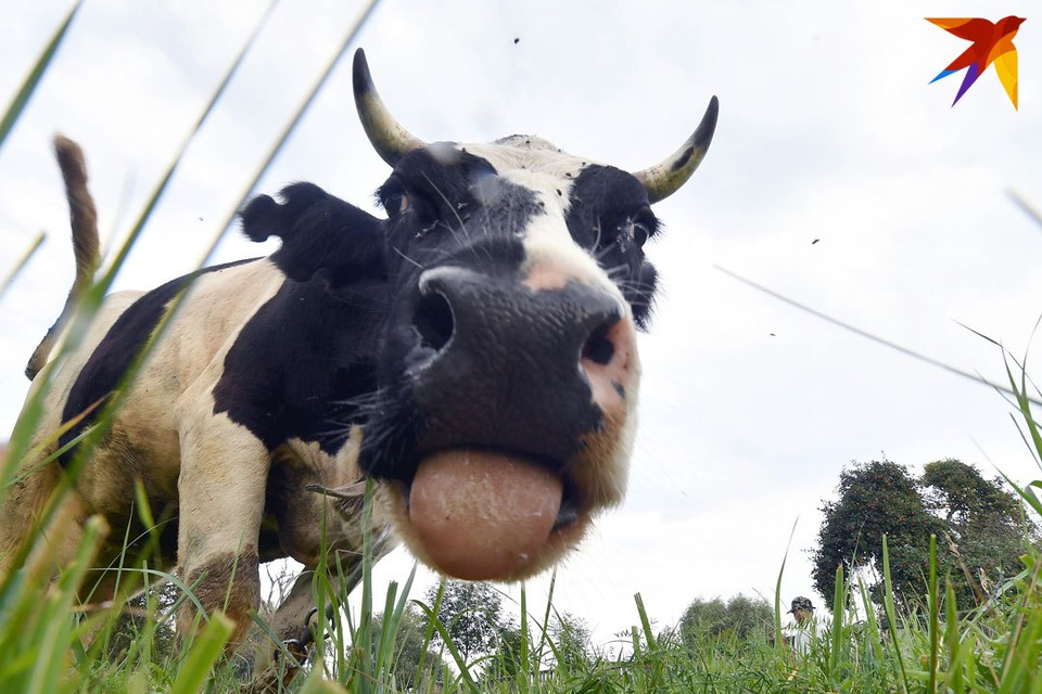 Корова пробыла сутки в лесу на привязи.