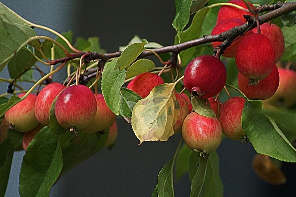 Россельхознадзор проверил более 50 белорусских предприятий, выращивающих яблоки, и остался доволен результатом. Фото: pixabay.com.