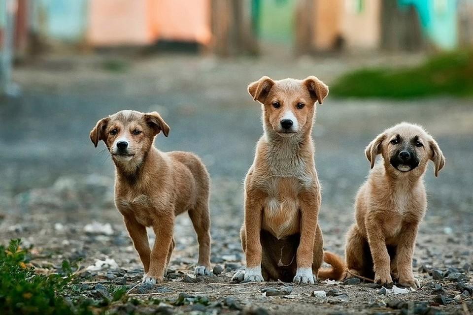 Щенки подросли, и хозяева поняли, что это не овчарки. Фото: pixabay.com.