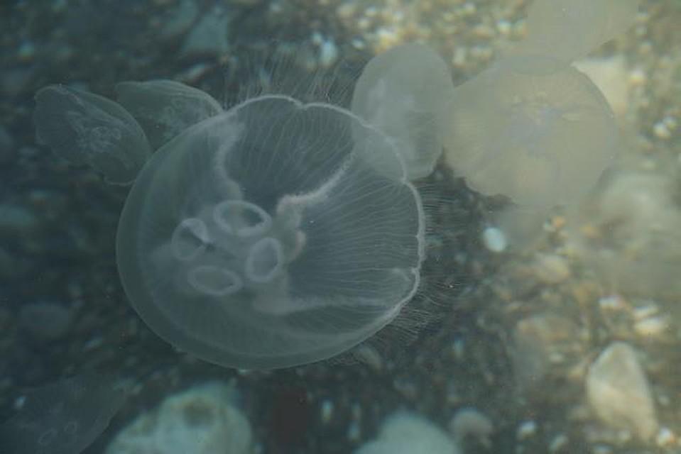 Медуз очень много.