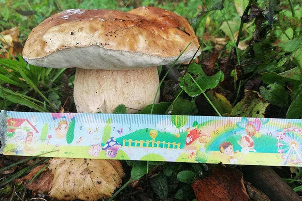 Полоцкая грибная фея на одном и том же месте пятый год подряд находит большие боровики. Фото: личный архив Людмилы Пашкевич.
