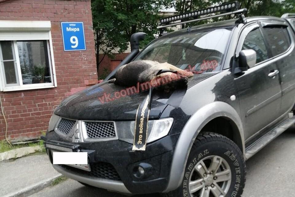 Войну зоозащитникам объявили, водрузив на машину тел омертвой собаки. Фото: Мурманск ДТП ЧП