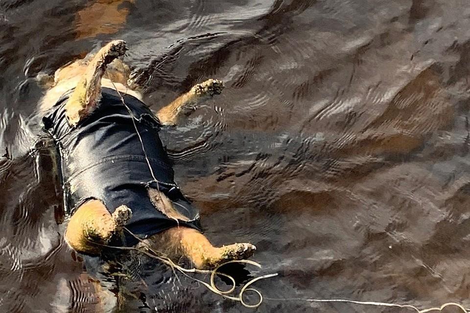 Проверка по факту гибели мопса в реке Кола закончена. Фото: Елена Паршикова