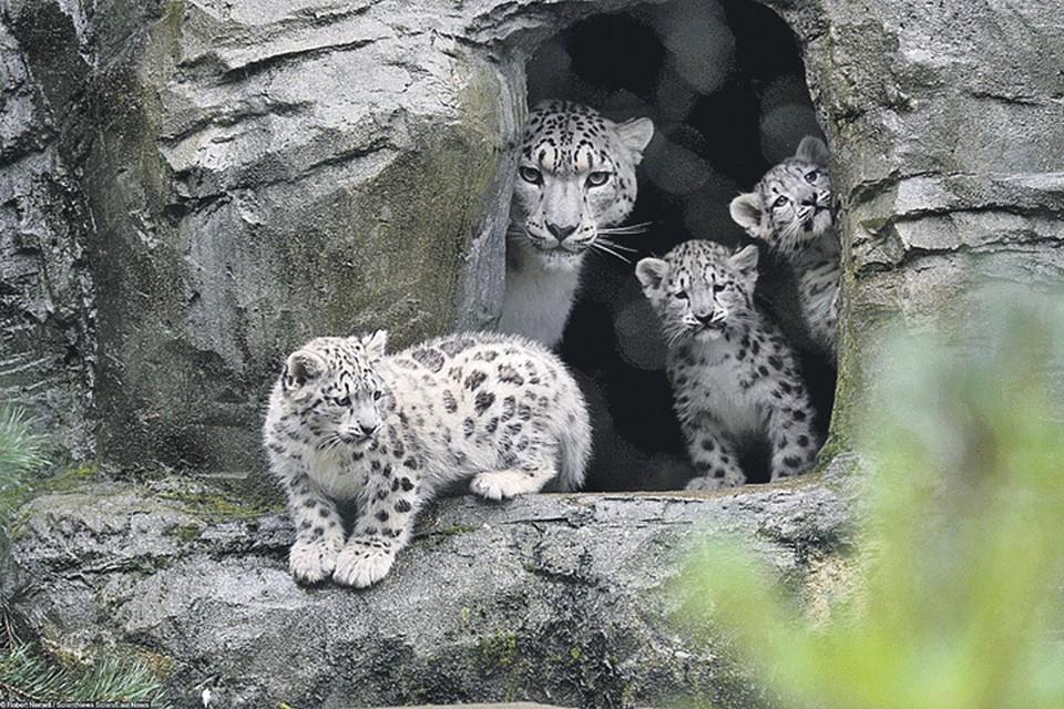 Самки ирбиса - прекрасные матери, которые воспитывают котят на протяжении нескольких лет. Фото: Robert Nemeti/SolentNews Solen/East News