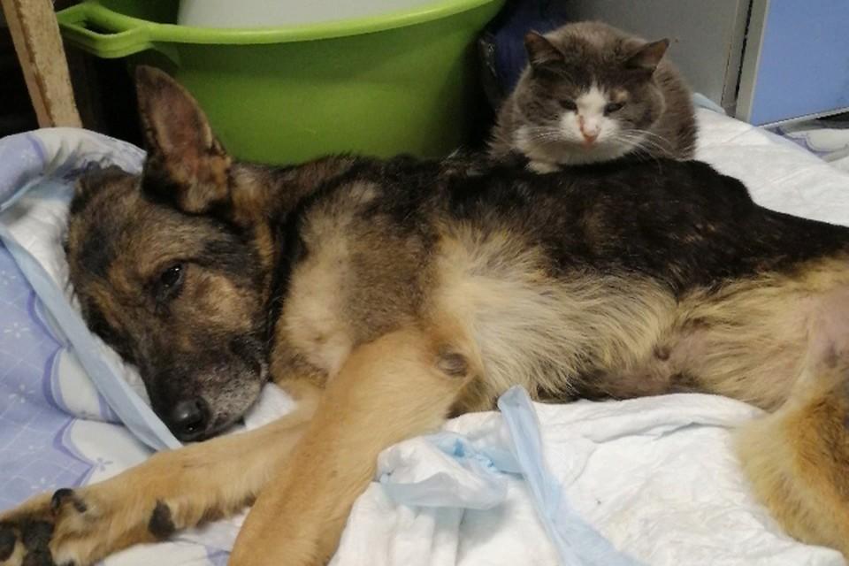 «Мнет лапками и лижет»: Кот-сиделка выхаживает спасенную на живодерне собаку