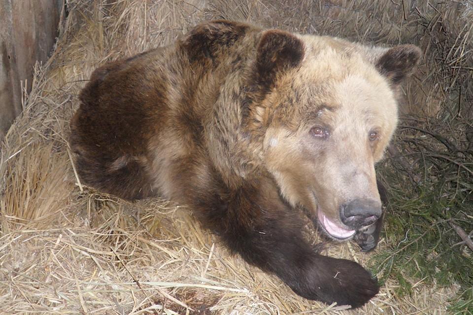Разбил окно и залез в дом: медведь-шатун загрыз жителя поселка на севере Иркутской области