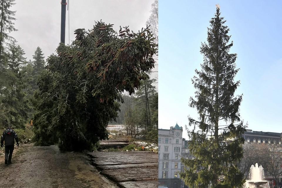 Главную рождественскую ель Лондона доставили аж из Норвегии. Но пушистости и стройности ей всё равно не хватает.