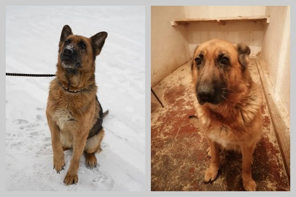 Грету спасли. Первое фото: собака у новых хозяев, второе - когда была ненужной. Фото: предоставлено группой «Husky24-Помощь хаски».