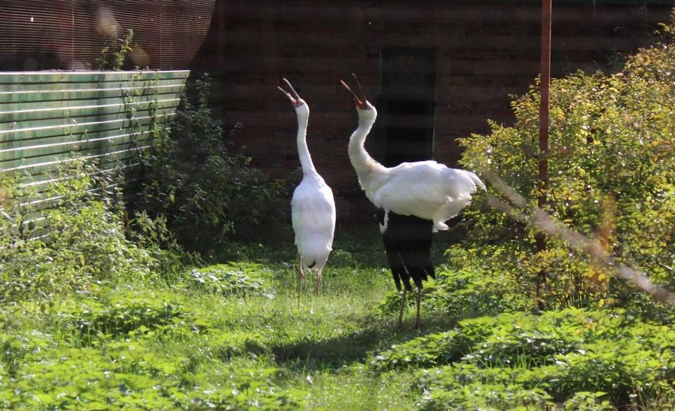 В питомнике Окского заповедника птиц лечат, содержат, а выросших птенцов выпускают в дикую природу