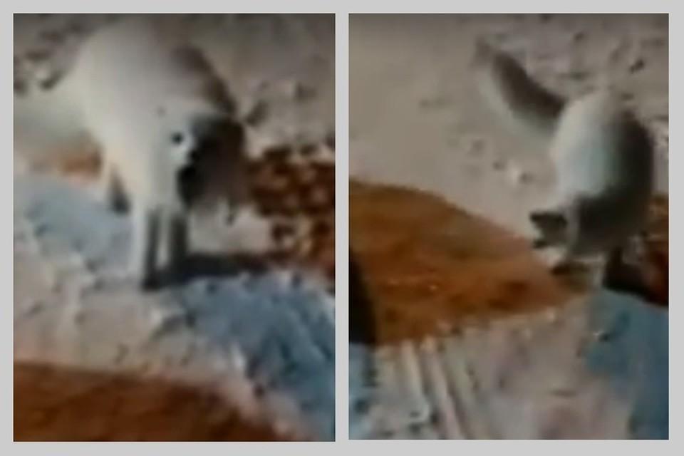 Песец-шантажист попал на камеру на Крайнем Севере. Видео: Норильск Not TODAY.