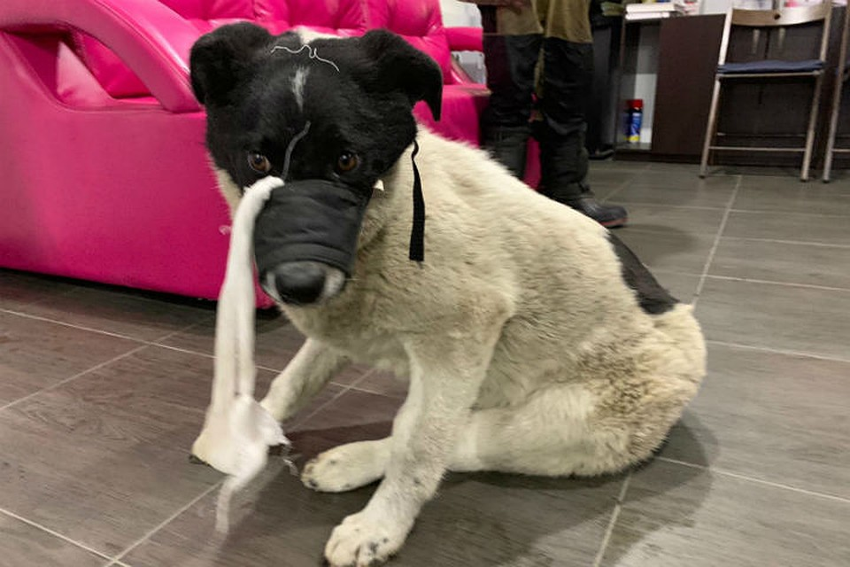 Полз на животе, с переломами лап и таза: на операцию бездомной собаке сибиряки собрали деньги за сутки.