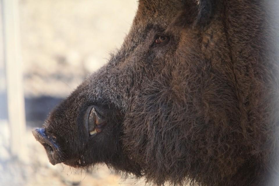 Из-за африканской чумы свиней в лесах региона будут отстреливать кабанов