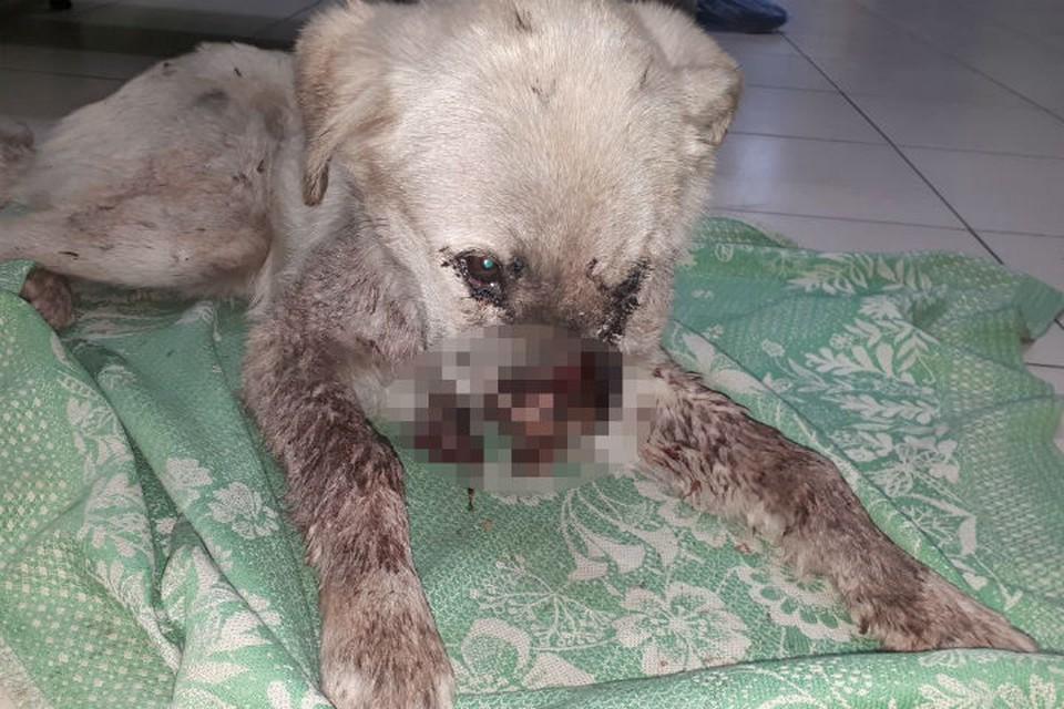Без носа и с вырванной челюстью: изувеченную собаку выбросили на улицу. Фото: предоставлено Ольгой Ташпулатовой.