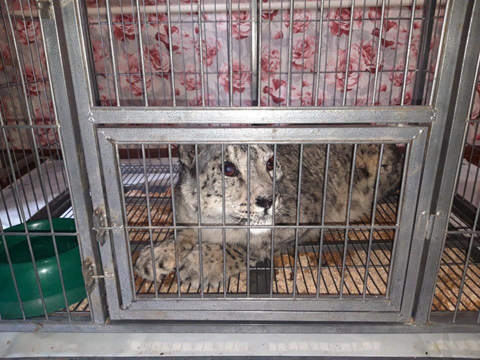 Судьбой краснокнижного животного озаботился посол Великобритании в Кыргызстане.
