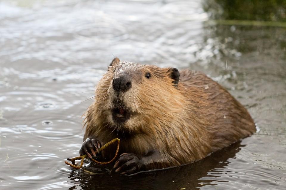 Экологи будут наблюдать за перемещением водных грызунов на территориях особо охраняемых природных зонФото: shutterstock.com