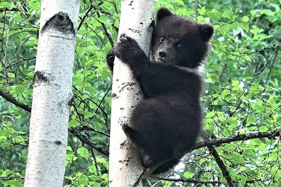 Самочка оказалась пугливой, за что и получила кличку Пужа Фото: с сайта orphan-bear.org