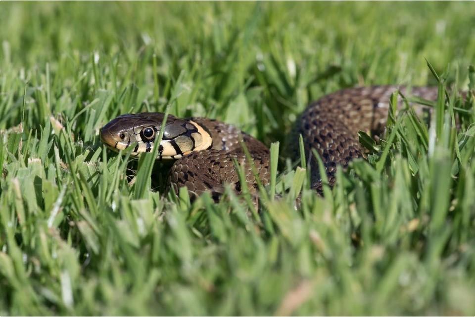 Змеи играют огромную роль в экологии. Фото: shutterstock.com.