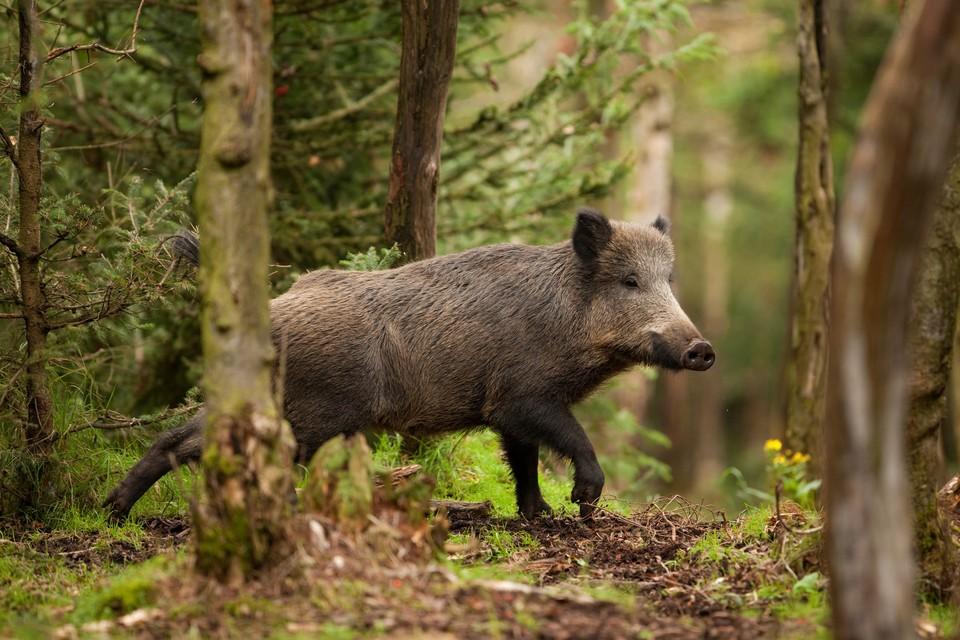 Кабаны играют большую роль в поддержании баланса экосистемы. Фото: shutterstock.com.