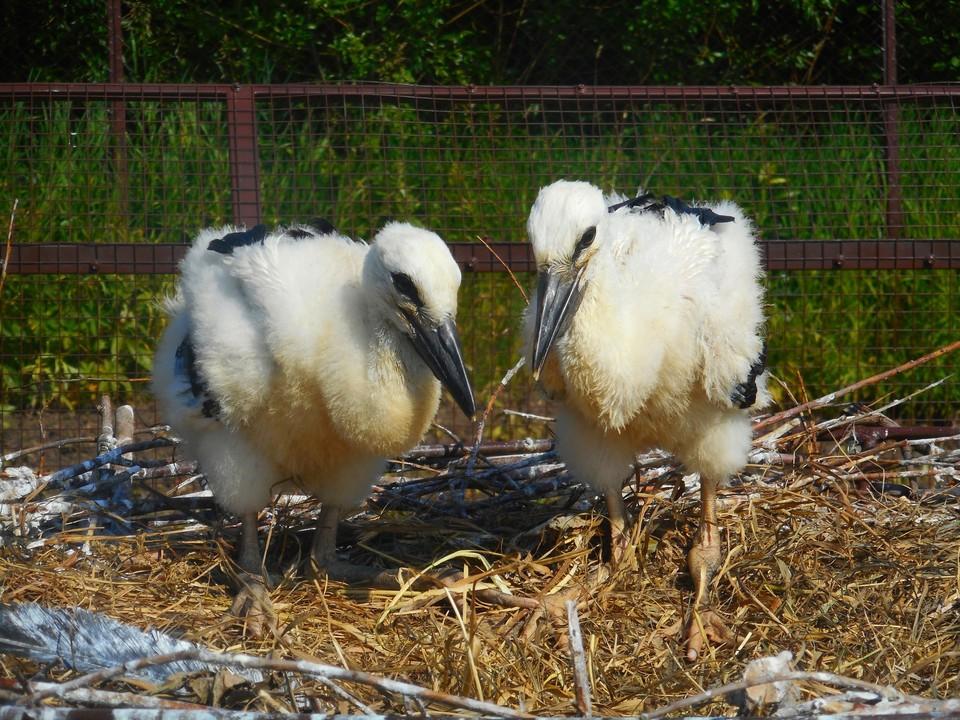 Большую часть времени птенцы теперь бодрствуют, ходят по гнезду и разминают крылья.