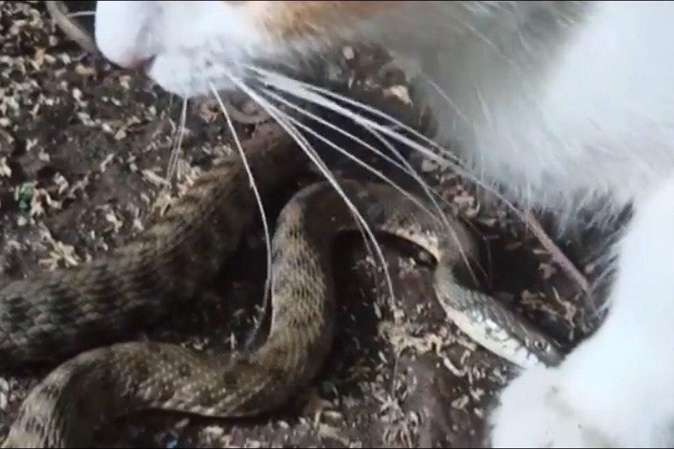 Змея заползла во владения кошки.