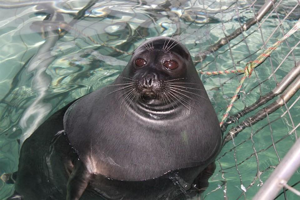Так выглядят любопытные байкальские тюлени в нерпинарии.
