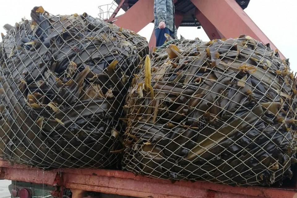Добыча ценных водорослей в России уже ведется. ФОТО: минсельхоз Хабаровского края