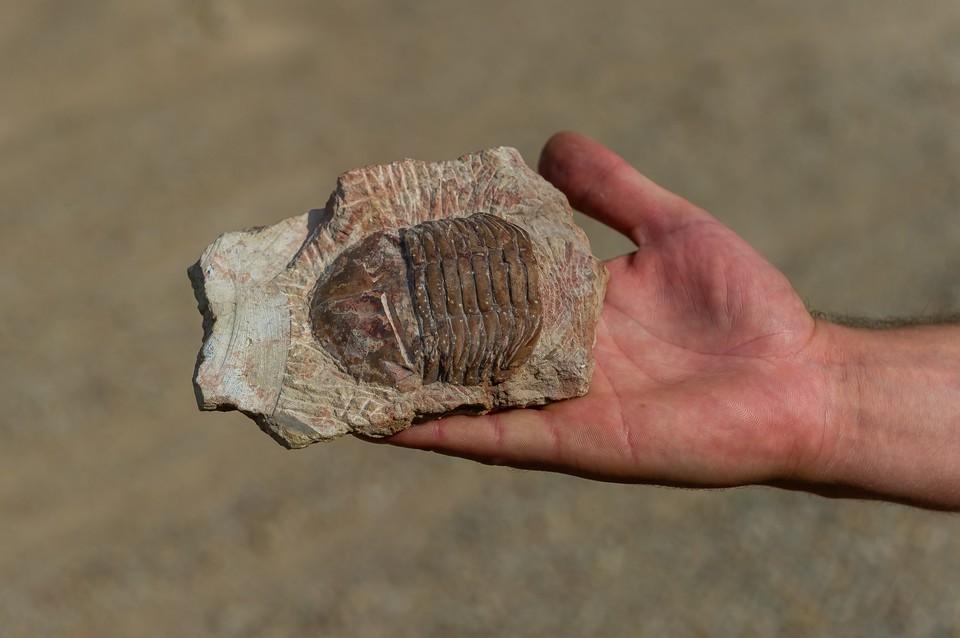 Не культура и дожди, а вот такие вот трилобиты хозяйничали в Петербурге 470 миллионов лет назад