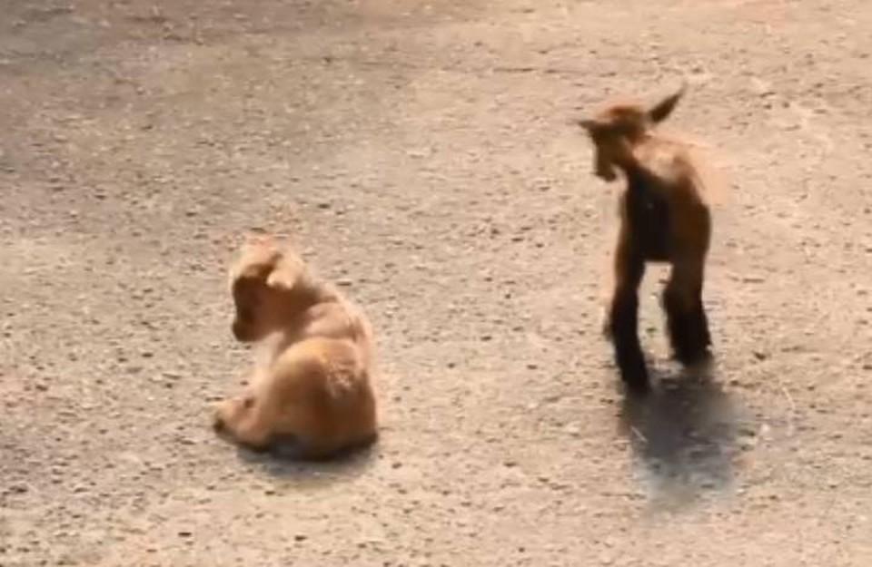 """Нигерийские козлята вышли на прогулку в зоопарке """"Лимпопо""""."""