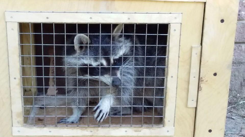 Еноты из зоопарка «Мишутка» переезжают в Балахну.