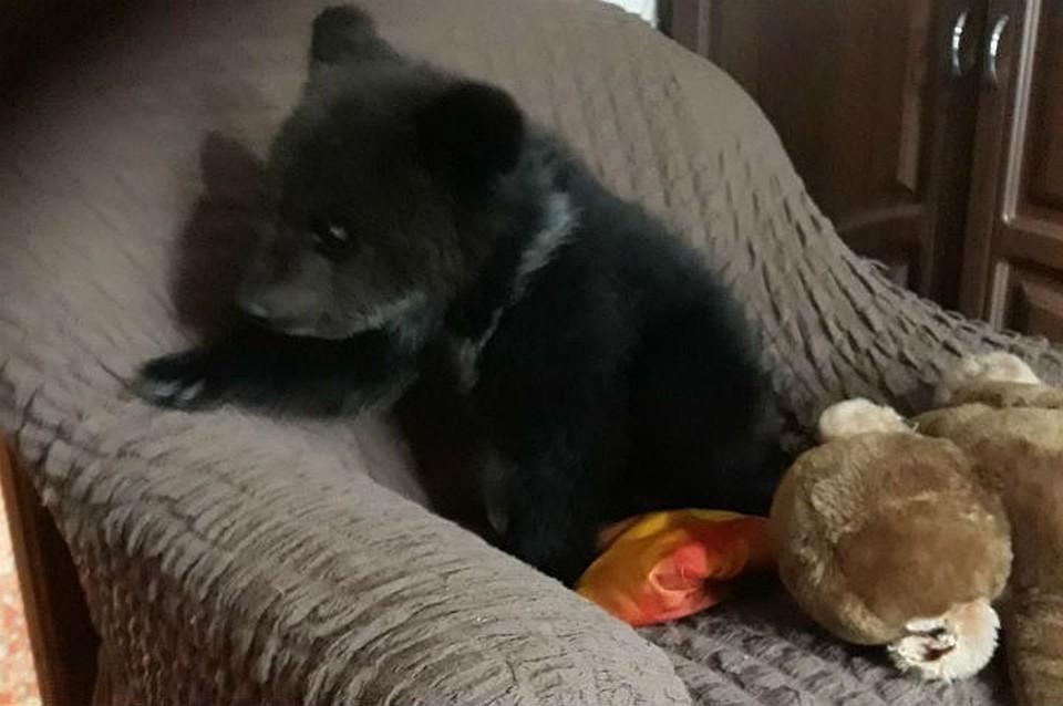 Умер медвежонок-сирота, которого сибиряк приютил у себя в квартире