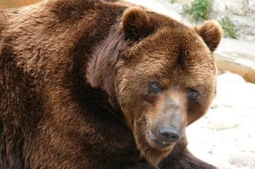 Волки гоняются за баранами, а медведи за людьми: дикие звери выходят к поселкам в Иркутской области