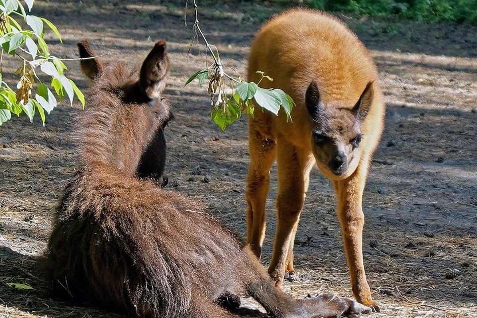 Ослик и лама — почти ровесники, они быстро подружились. Фото: Андрей Поляков