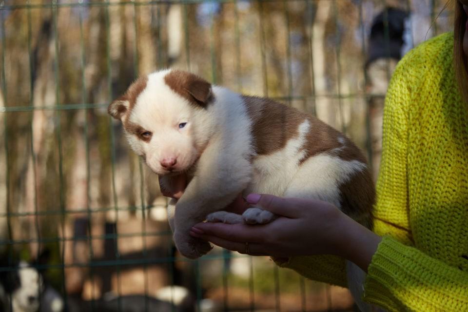 Наталия Демидова говорит, что за своими щенками следит и заботится об их здоровье. Фото: vk.com/sleddog51