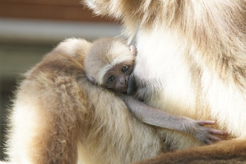 Детеныш гиббона родился в Ленинградском зоопарке / Фото: Ленинградский зоопарк