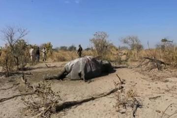 Тайна массовой гибели слонов в Ботсване разгадана