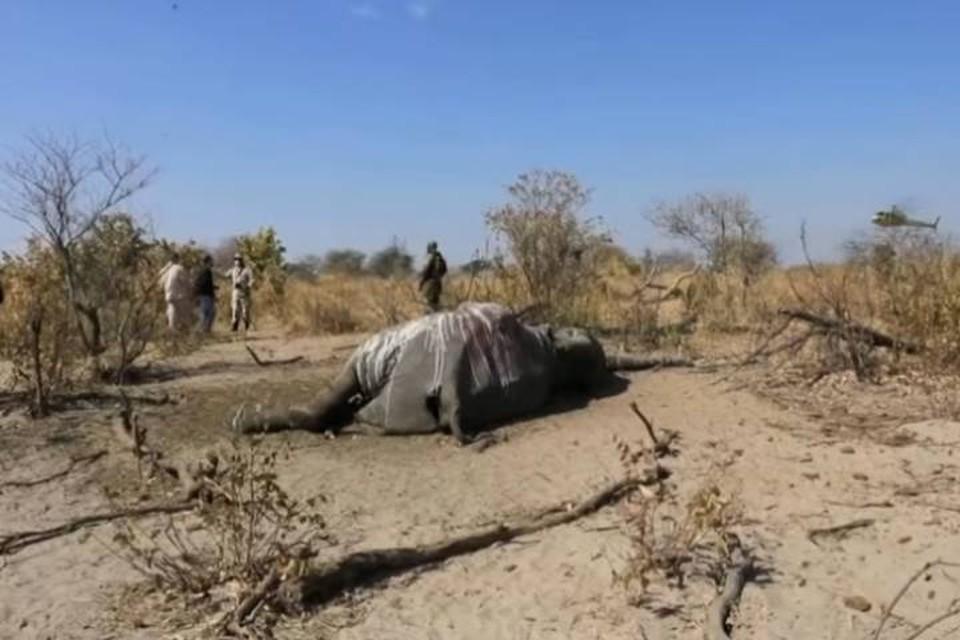 Люди гибли от коронавируса, а слоны не известно от чего.