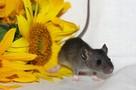 Мама - декорашка, папа - пасюк: Маленьким крысятам ищут дом в Петербурге