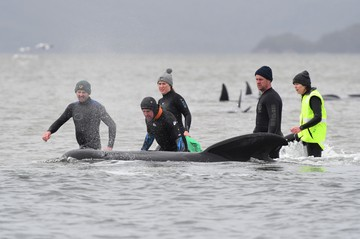 Массовое самоубийство китов у берегов Австралии поставило науку в тупик