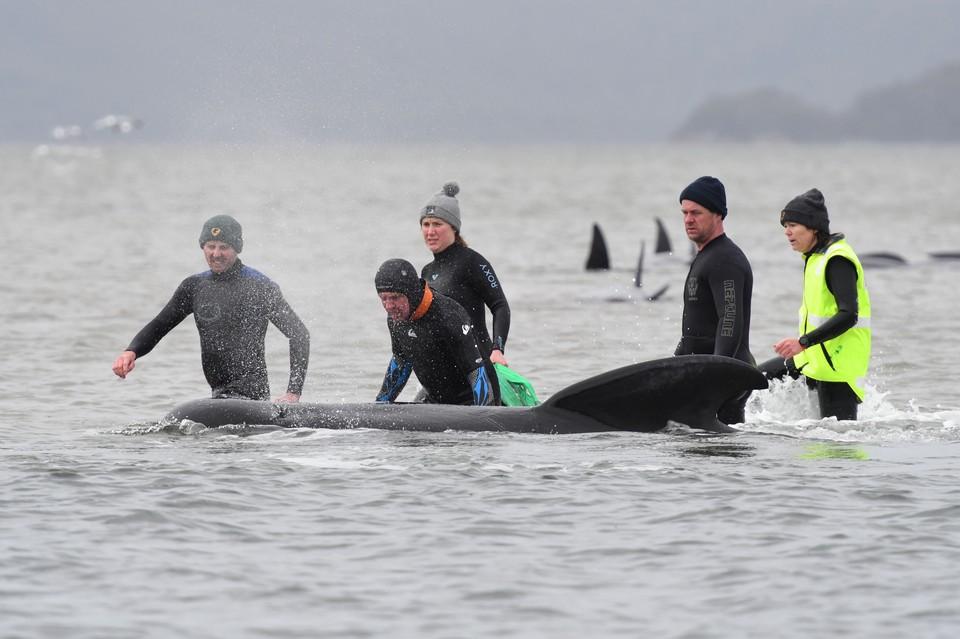 Волонтеры спасают китов у берегов Австралии