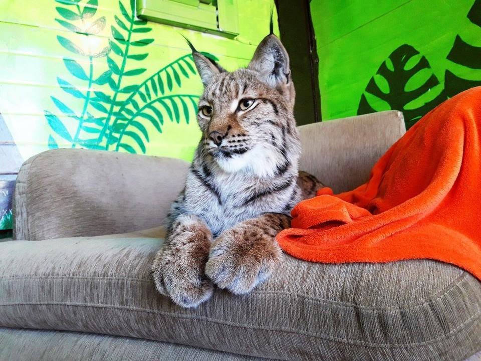 Дико ласковая мамочка: рысь Алена нянчит котенка в Сибирском зоопарке. Фото: Сибирский зоопарк