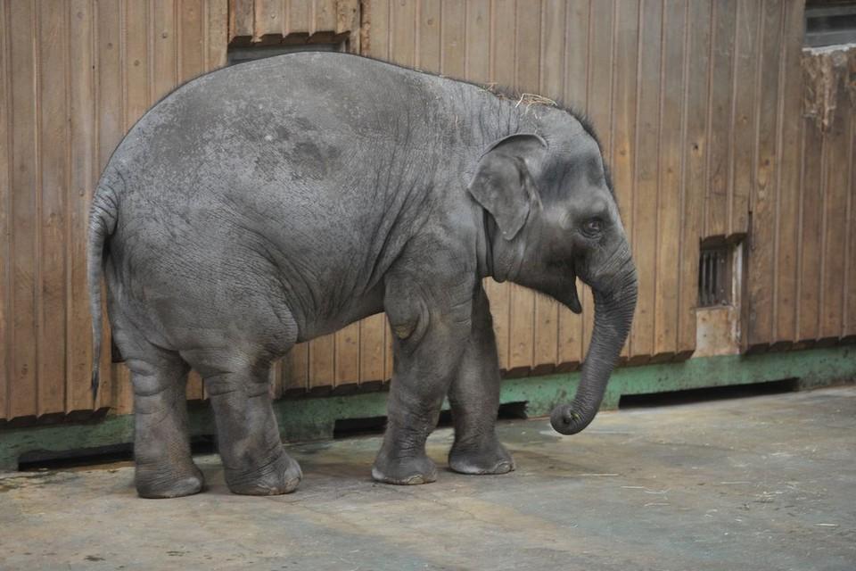 Слоненок питается корой деревьев и фруктами.