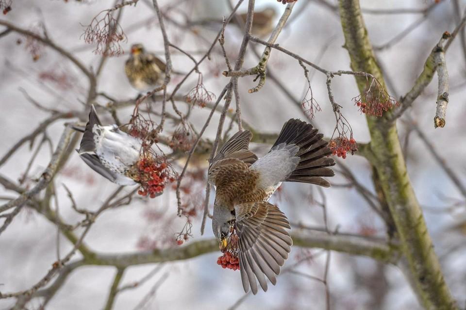 По словам руководителя орнитария в парке «Сокольники» Вадима Мишина, в этом году жалоб на оголодавших птиц действительно очень много.