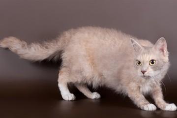 Лаперм кошка