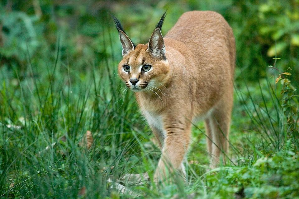Оказалось, что хищное животное не пришло в посёлок из леса, а вырвалось на свободу из вольера