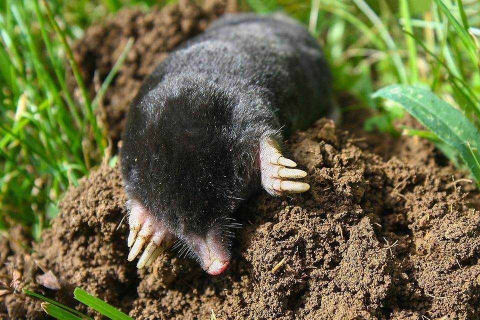 Кроты формируют крупные полости в почве, улучшают в ней воздухообмен и впитывание дождевой воды при ливнях
